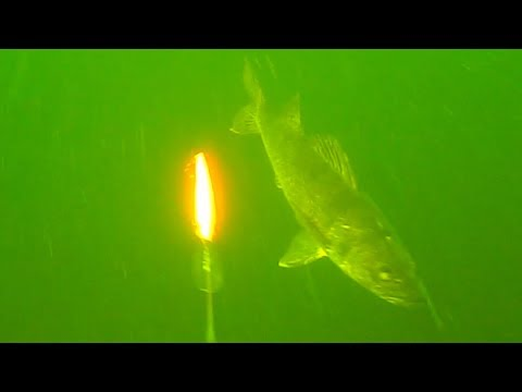 Underwater Walleye Strikes Water Wolf (Trolling Rapala's)