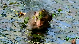 Ooh pretty funny little monkey playing water, Small monkeys swimming very happily