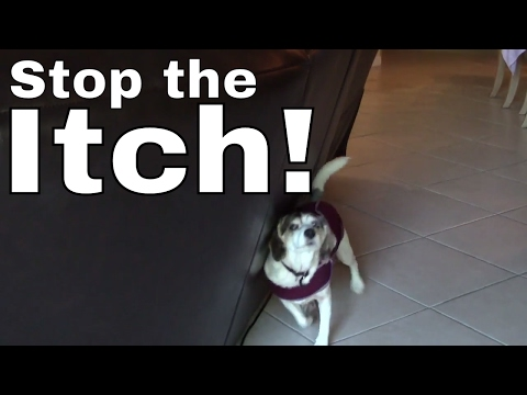Part 4: HOW TO stop your Dog From Itching Scratching –Thundershirt Anxiety Vest Jacket / Shirt