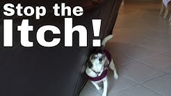 Part 4: HOW TO stop your Dog From Itching Scratching --Thundershirt Anxiety Vest Jacket / Shirt