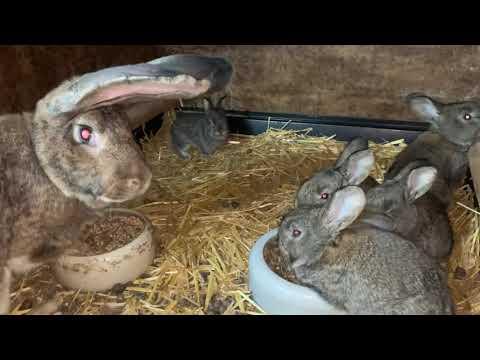 Как Крольчиха кормит крольчат