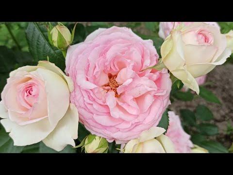 Вопрос: Почему мои розы не замерзают?