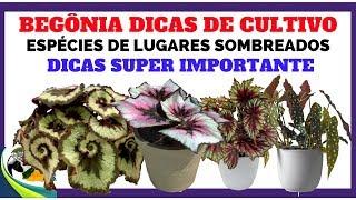 Begônia Saiba como Cultivar essa Planta Corretamente