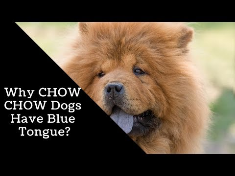 Why CHOW CHOW Dogs Have Blue Tongue?