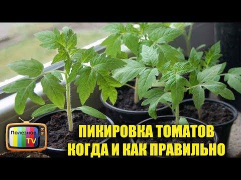 ПИКИРОВКА ТОМАТОВ КОГДА И КАК ПРАВИЛЬНО   выращивание   пикировка   стаканах   полезное   томатов   рассады   помидор   томаты   расса   poleznoe
