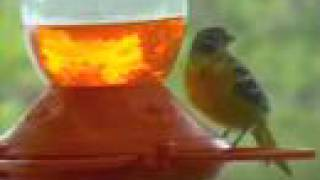 Baltimore Orioles (the birds)