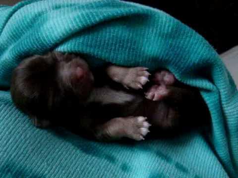 Newborn Chihuahua Puppy Brown Longcoat Girl Youtube