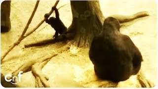 Download Video Dawn of the Planet Of the Baby Ape | When Mom Says So MP3 3GP MP4
