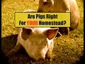 Are Pigs Right For Your Homestead~