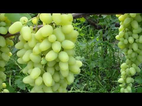 Начал созревать виноград