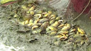 Asian Traditional Cast Net Fishing in Village | Traditional Net Fishing