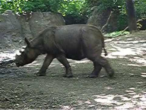 One of the last Sumatran rhinoceros in captivity