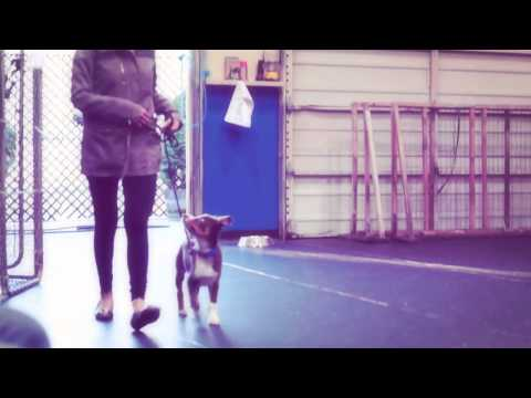 Formal Puppy Training at Amber Cottle Obedience School - Level 1 Basic Obedience Dog Training