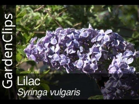Lilac - Syringa Vulgaris - How To Grow Lilac