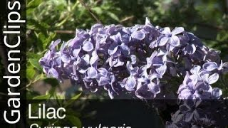 Lilac - Syringa vulgaris - How to grow Lilac