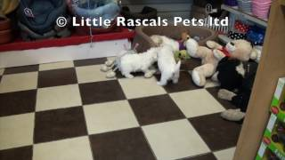 Little Rascals Uk Breeders New Litter Of Maltichon Puppies