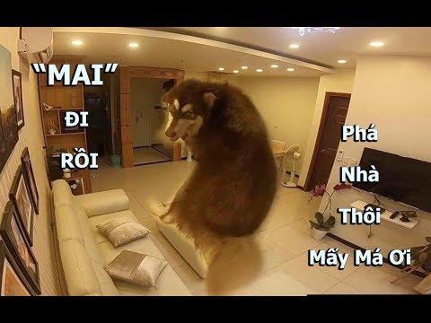 Gắn Camera xem Mật làm gì khi ở nhà 1 mình - GoPro Cam on my Alaska left home alone - Mật Pet Family