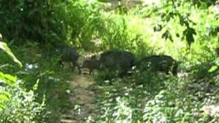 Queixadas (adultos e filhotes) / White-lipped peccary (adults and cubs)