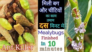 How to instantly get rid of Ants and white Mealybugs |Top ways to Kil ants in 10 minutes