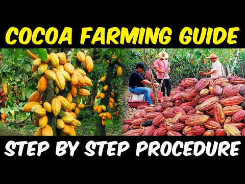 Cocoa Farming / Cocoa Cultivation | Complete Guide | Cocoa Beans Sowing - Cocoa Harvesting