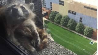 Raccoon climbs Minnesota skyscraper in St. Paul,  UBS  building daredevil raccoon