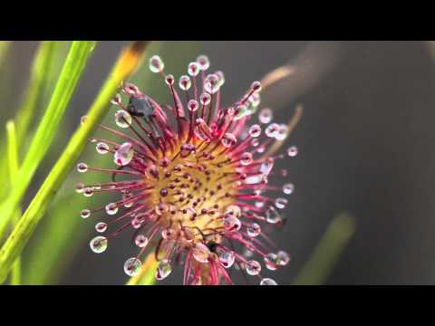 Sundew, Carnivorous Plant in Alaska
