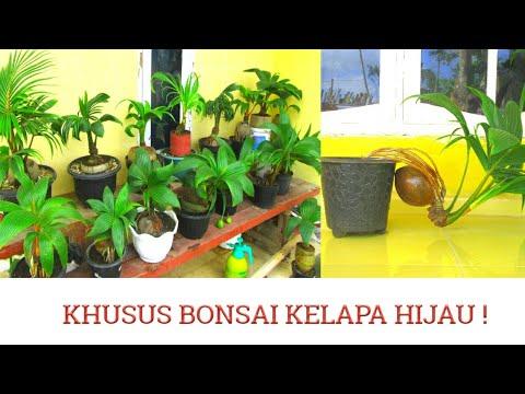 Pecinta Bonsai Kelapa Hijau Wajib Nonton Inspirasi Bonsai