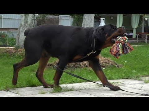 MOST DANGEROUS DOG Rottweiler Compilation 2018