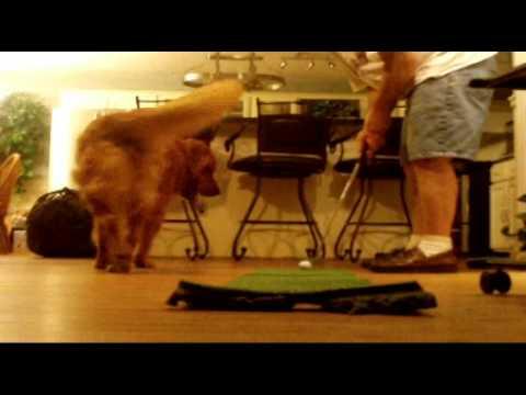 Ultimate Golf Dog Golden Retriever Jake (retrieving golf balls practice golfing putting)