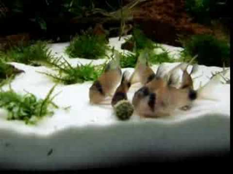 Corydoras Panda Feeding Time.