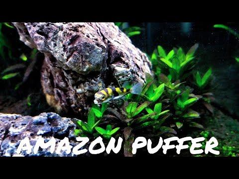 HOW TO: Trim Pufferfish Teeth