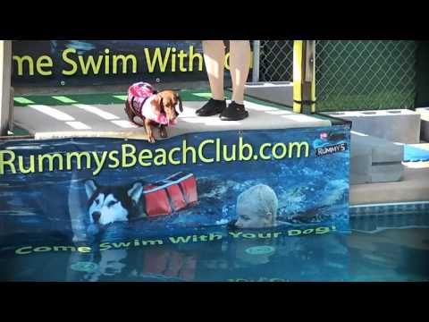 Miniature Wienie Dog Dachshund Jasmine practices dock jumping into pool for dock dogs competition