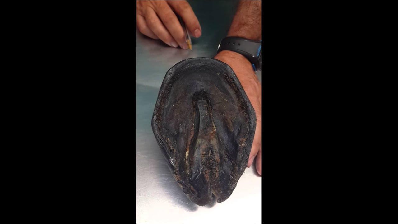 Casco de Caballo - Anatomía Veterinaria - YouTube