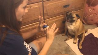 How To Train Your Dog To Sit Pretty Or Beg