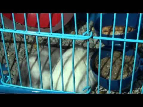 Proses perkawinan hamster part 2
