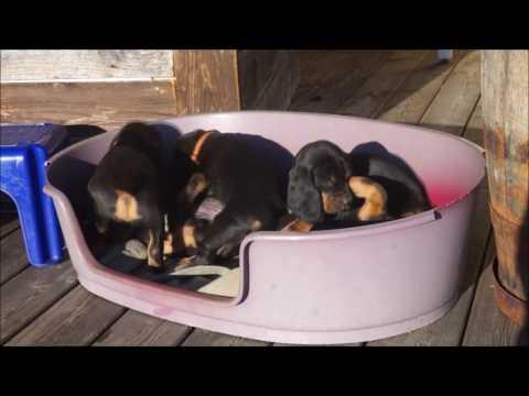 Tiroler Bracke mit 7 Welpen  Rassehunde Hund Hunde Jagdhund