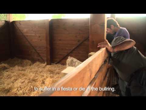 Dos toros rescatados por una organización de derechos animales: Santuario Wings of Heart