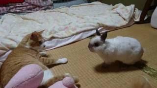 小さいからって負けないぞ!ウサギ VS 猫、勝負の行方は?