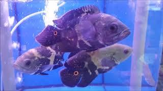 liow-video-bought-a-wild-oscar-fish-