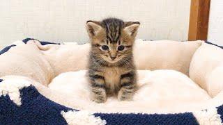 新しいベッドの感触を確認する子猫
