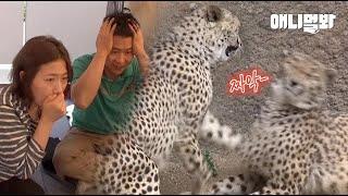 아는 사육사 형이 해준 소개팅 나갔다가 뺨부터 맞았는데 어떤 의미죠 l C Brand Magical Cologne Making Cheetahs Love Each Other