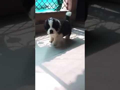 9212 501 257 saint Bernard male and female dog puppies for sale in Delhi dwarka pet shop dog kennel