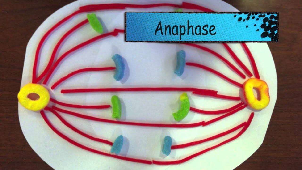the cell cycle  u0026 meiosis  candy edition