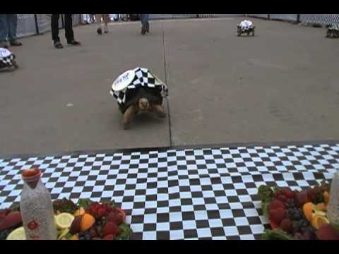 Greatest Spectacle in Tortoise Racing