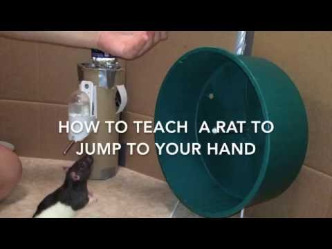 How to Train A Rat to Jump to Your Hand