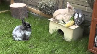 Kaninchen Vergesellschaftung  Eingewöhnung im Aussengehege