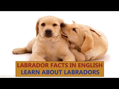 Labrador Dogs Facts | Dogs Facts | Popular Dogs | The Ultimate Channel