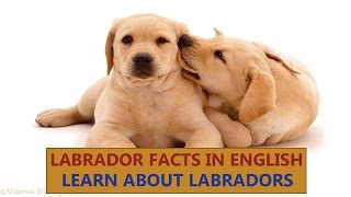 Labrador Dogs Facts   Dogs Facts   Popular Dogs   The Ultimate Channel