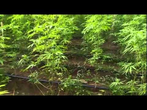 Vivero con matas de marihuana en la ligua youtube for Matas de viveros