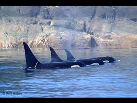 "The Antarctic Files: ""Killer"" Whales / Springtime @ Comandante Ferraz...Zod. 1 of 2"